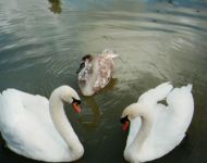 Swans on the Mill Pond